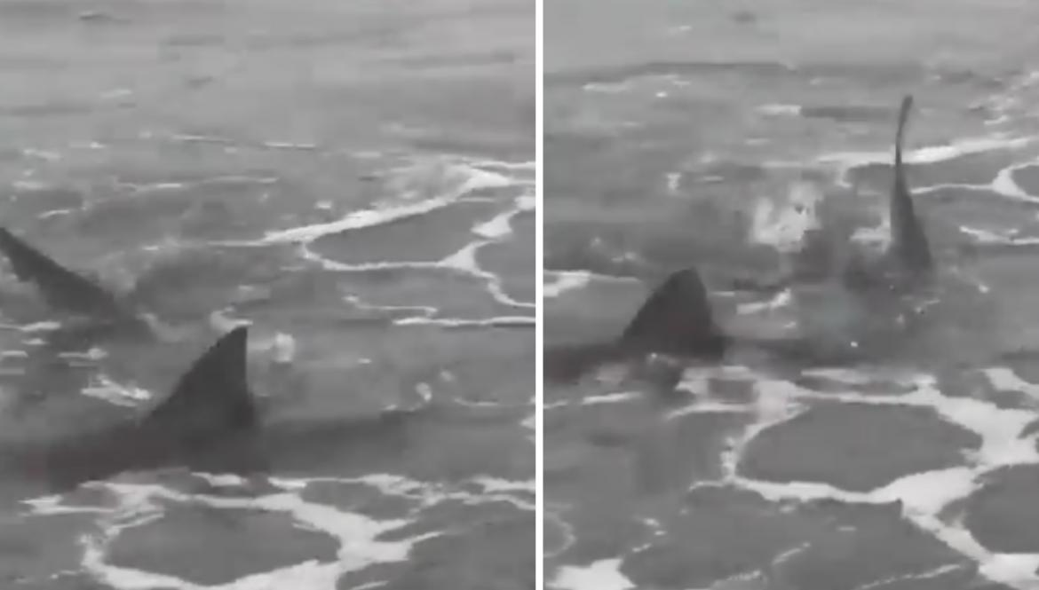 Tiburones en Monte Hermoso, captura video